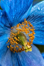 Preview iPhone wallpaper Blue poppy flower close-up