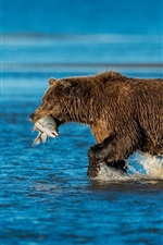 Preview iPhone wallpaper Brown bear, catch fish, river