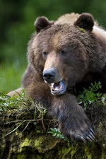Brown bear, mouth, paw