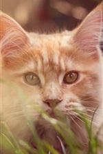 Gato castanho, grama, bokeh