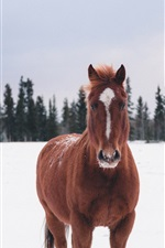 Preview iPhone wallpaper Brown horse, snow, winter