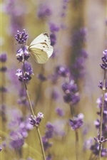 Butterfly and lavender flowers