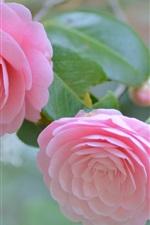 Camellia, pink flowers, tenderness