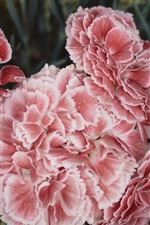 Preview iPhone wallpaper Carnations flowers, pink petals