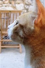Preview iPhone wallpaper Cat side view, orange color
