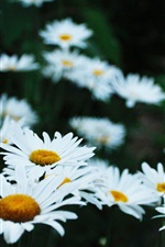 Preview iPhone wallpaper Chamomile flower field, white petals