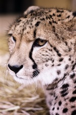 Preview iPhone wallpaper Cheetah front view, big cat, predator