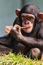 Preview iPhone wallpaper Chimp have a rest