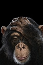 Preview iPhone wallpaper Chimpanzee, black background