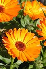 Preview iPhone wallpaper Chrysanthemum, orange flowers