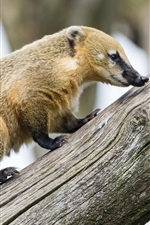 Preview iPhone wallpaper Coati walk on tree trunk