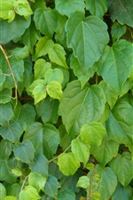 Preview iPhone wallpaper Creeper close-up, green leaves
