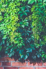Preview iPhone wallpaper Creeper, plants, green leaves