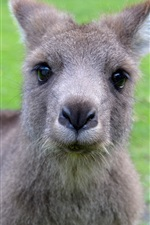 Preview iPhone wallpaper Cute kangaroo look at you, face
