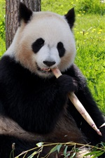 Preview iPhone wallpaper Cute panda eating bamboo