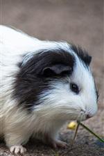 Preview iPhone wallpaper Cute pet, guinea pig