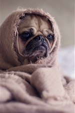 Preview iPhone wallpaper Cute pug, blanket, funny