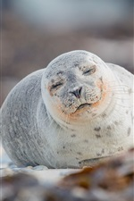 Preview iPhone wallpaper Cute seal sleep