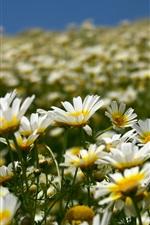 Campo das margaridas, flores brancas