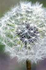Preview iPhone wallpaper Dandelion white flower close-up, stem