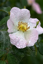 Dog rose, water drops