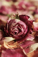 Preview iPhone wallpaper Dry rose, pink flowers, petals