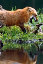 Foxes playing, water, grass