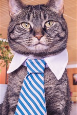 Preview iPhone wallpaper Funny cat, tie