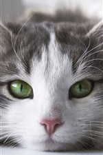 Furry kitten front view, green eyes