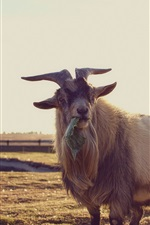 Preview iPhone wallpaper Goat eat food, grass, horn