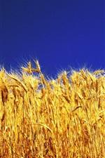 Preview iPhone wallpaper Golden wheat, blue sky
