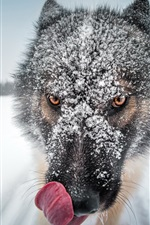 Preview iPhone wallpaper Greenland dog, face, eyes, snow