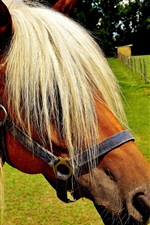 Preview iPhone wallpaper Haflinger, horse, cool hairstyle