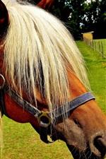 Haflinger, cavalo, penteado legal