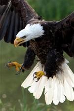 Hawk flight, wings