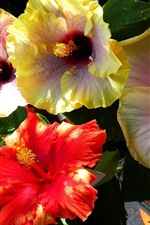Preview iPhone wallpaper Hibiscus flowering, colorful flowers