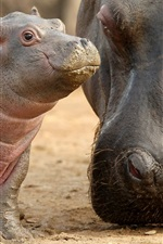 Preview iPhone wallpaper Hippo baby