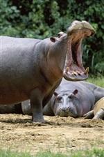 Descanso de hipopótamos