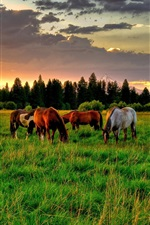 Preview iPhone wallpaper Horses, grass, sunset