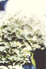 Hydrangea, flowers photography, light