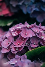 Preview iPhone wallpaper Hydrangea flowers, pink petals close-up