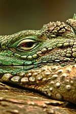 Preview iPhone wallpaper Iguana, face, eye, rest