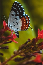Preview iPhone wallpaper Insect, butterfly, wings, red flowers