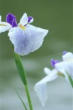 Flores de íris depois da chuva, gotas de água