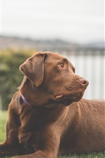 Preview iPhone wallpaper Labrador dog, brown color, grass, rest