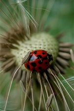 Preview iPhone wallpaper Ladybug, dandelion, macro