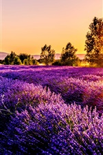 Lavender field, flowers, sunset, France