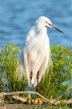 Preview iPhone wallpaper Little egret, white feathers