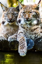 Preview iPhone wallpaper Lynx, two cats rest