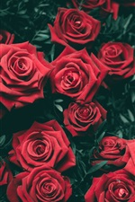 Preview iPhone wallpaper Many red roses flowers, romantic